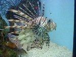 Очаровательная полосатая рыба-индюк