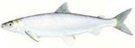 Рыба породы циско