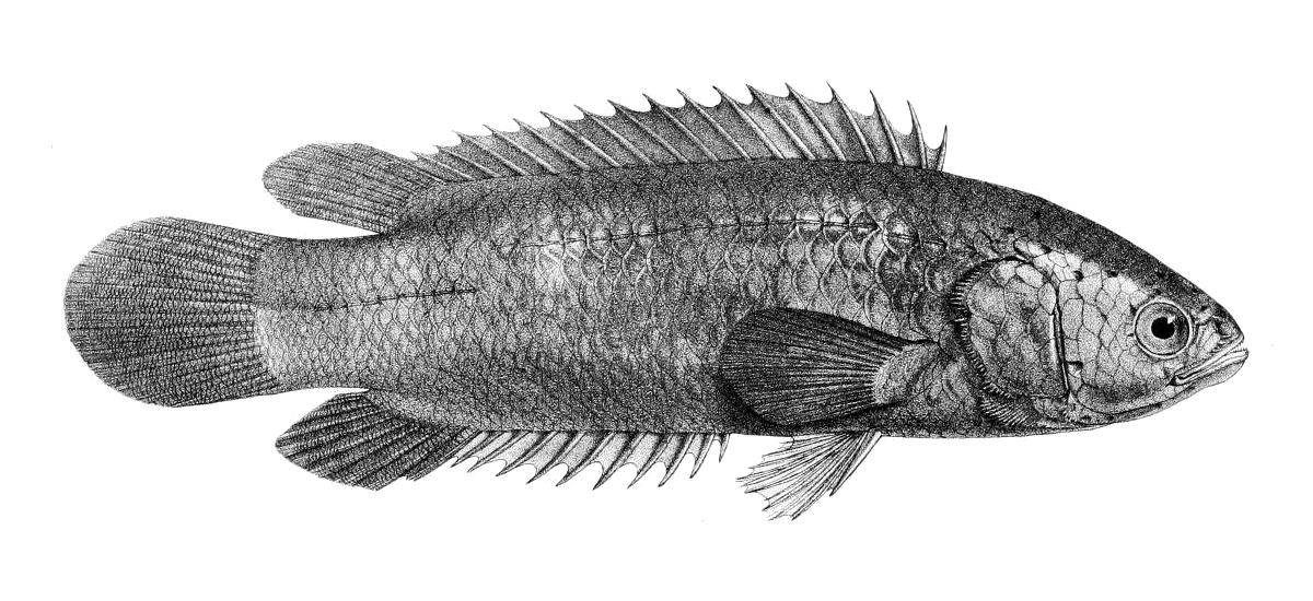 Анабасовая рыба фото