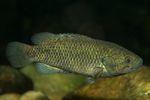 Порода рыбы ползуновые