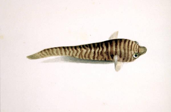 Рыба-присоска фото
