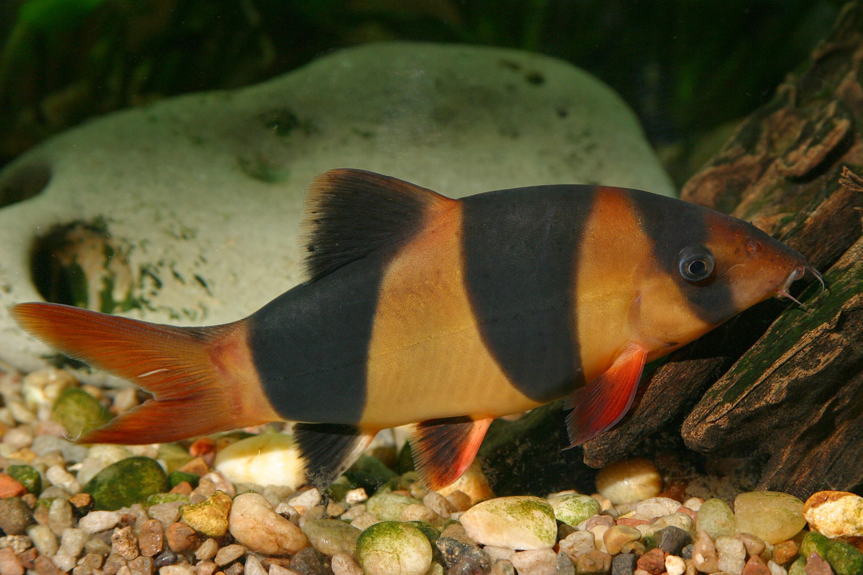 рыба морской толстолобик
