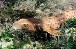 Поперечнополосатая воротниковая акула