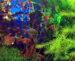 Разноцветная рыба породы Тетра