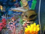 Красочная рыба Уару