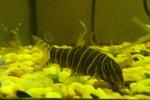 Красочное фото рыбы породы Боция Стриата