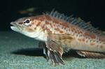 Рыба породы Пикта