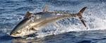 Обыкновенный тунец в прыжке