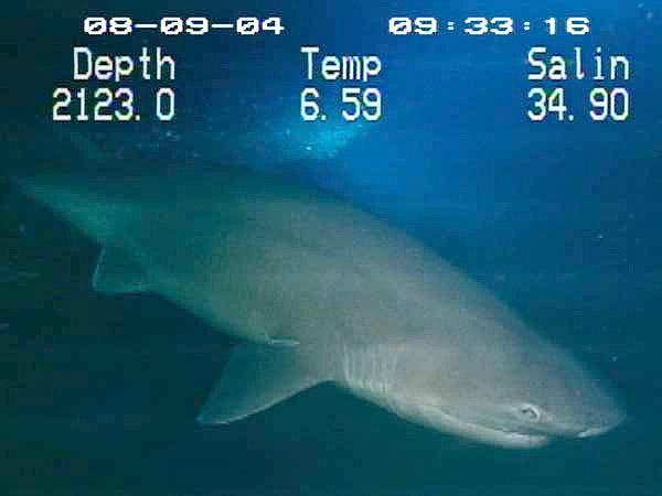 Акула–корова фото