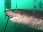 Многожаберная акула плывет