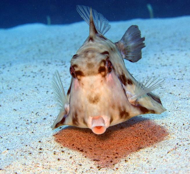 Рыба-корова фото
