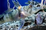 Белокровные рыбы