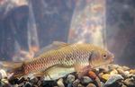 Золотые караси в аквариуме