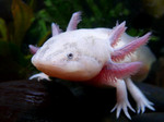 Симпатичная саламандровая лепидогалаксия