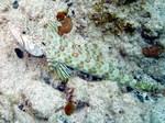 Симпатичный Песочный ящероголов
