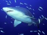 Симпатичная Песчаная тигровая акула