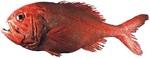 Симпатичная Бериксовая рыба