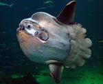 Симпатичная Луна-рыба
