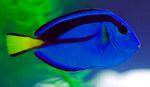 Симпатичная хирурговая рыба