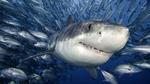 Симпатичная Тигровая акула