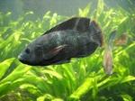 Симпатичная Тилапия в аквариуме