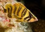 Симпатичный Зубчатолобый морской окунь