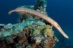 Симпатичная Рыба-флейта