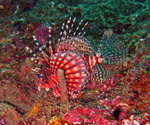 Симпатичная полосатая рыба-индюк