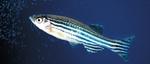 Симпатичная рыба-зебра