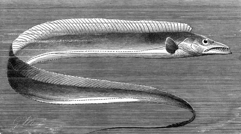 Волосохвостая рыба фото