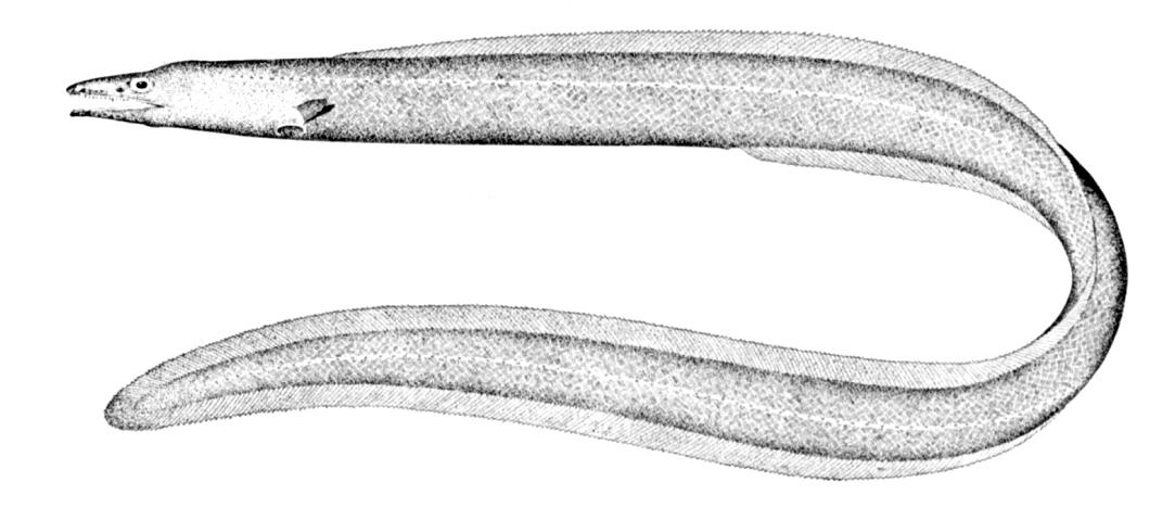 Синафобранховая рыба фото