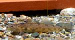 Змеешейка в аквариуме