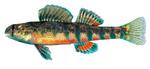 Рыба-змеешейка