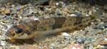 Змеешейка в воде