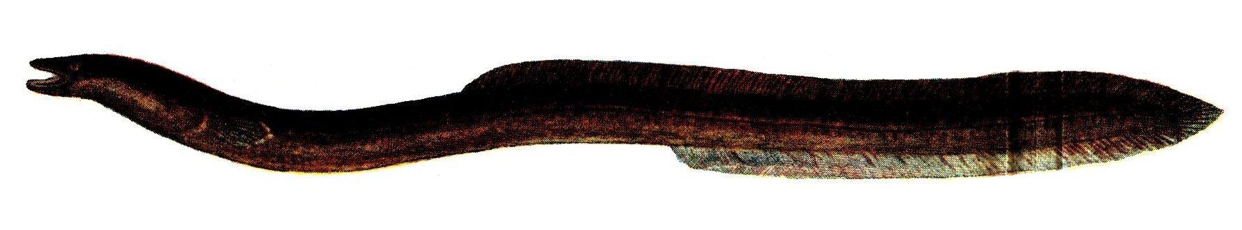 Батипелагический угорь фото