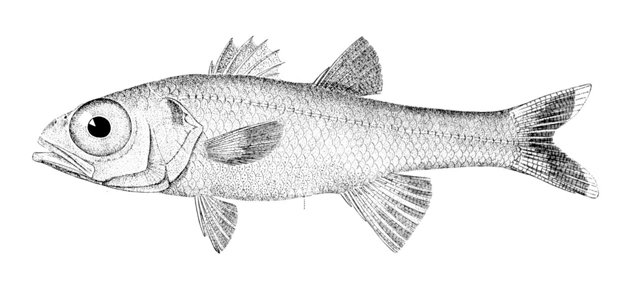 Большеглазовая рыба фото