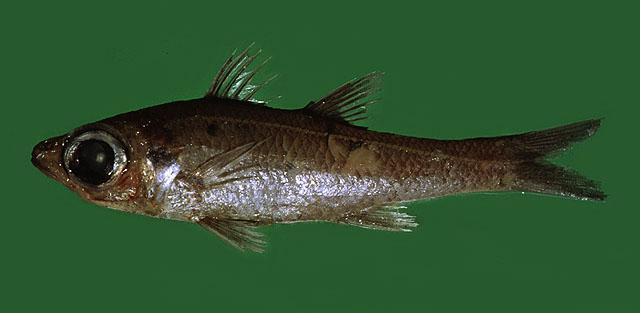 толстолобик что за рыба где водится
