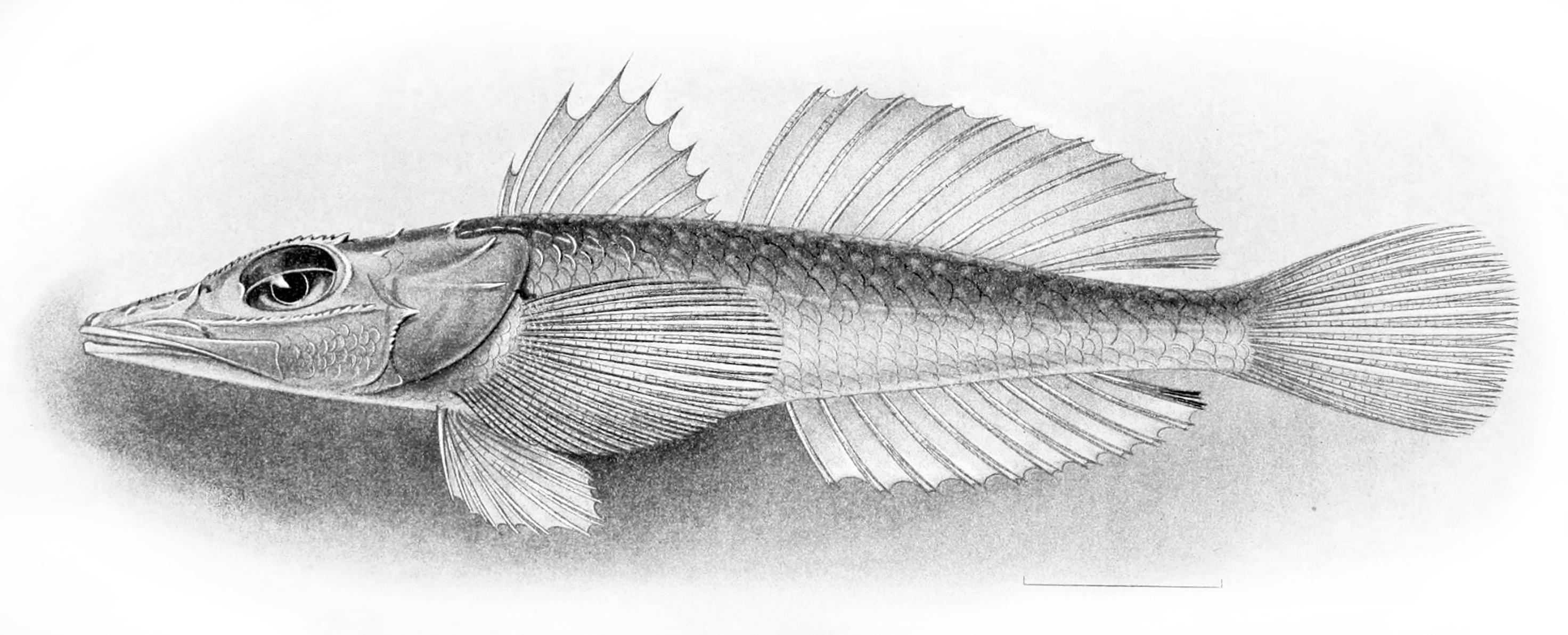 Плоскоголовая рыба фото