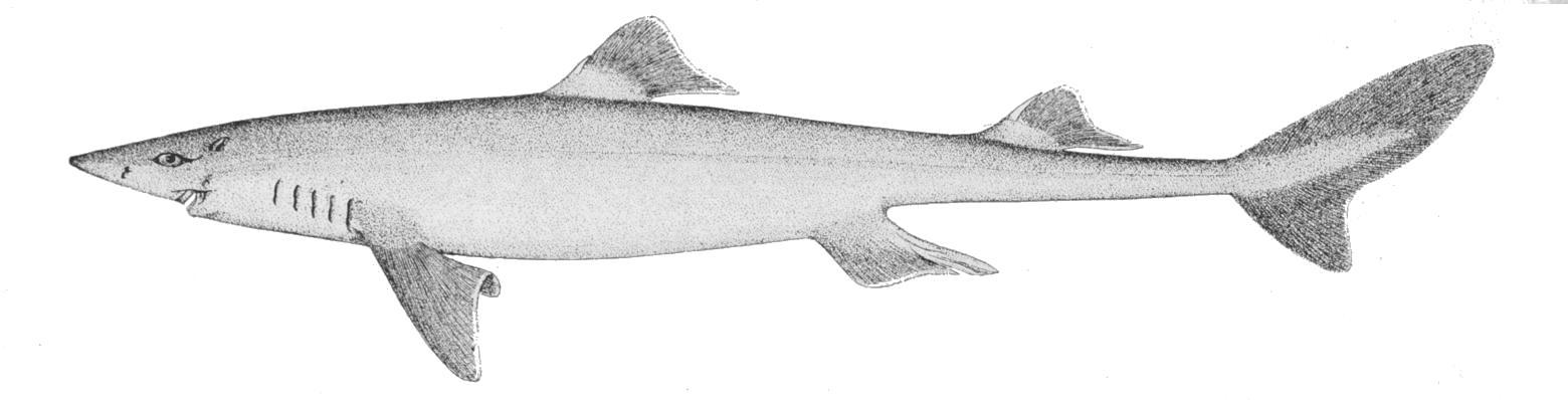 Кошачья акула фото