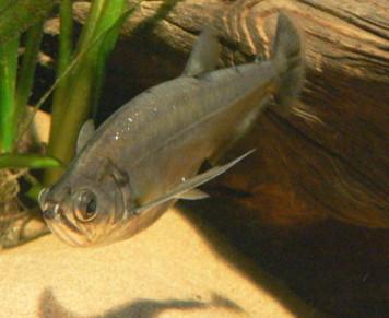 Цинодонтовая рыба фото