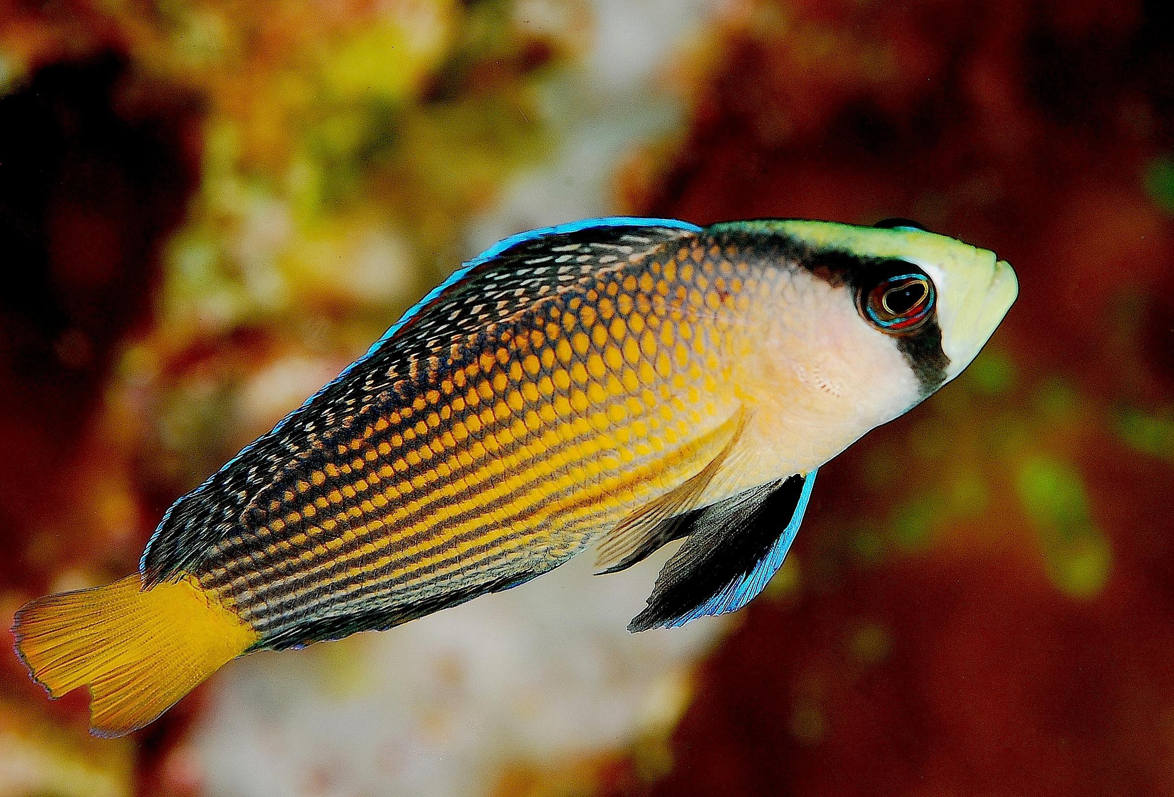 Псевдохромисовая рыба фото