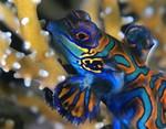 Рыба вида лировые