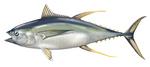 Нарисованный Желтоперый тунец