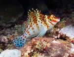 Карлик рыба-ястреб
