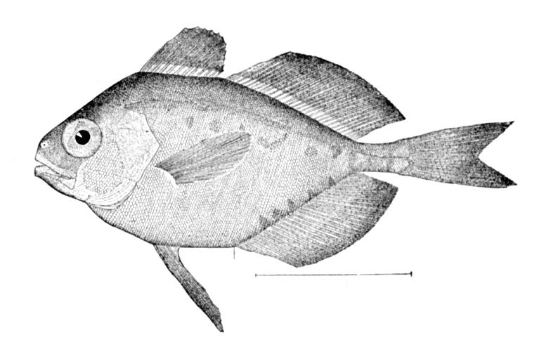 Номеевая рыба фото