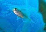 Рыба семейства окунеобразных