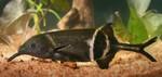 Рыба-удар на поверхности