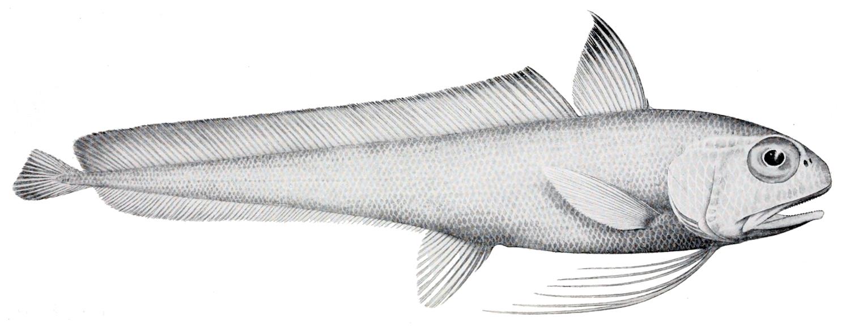 Euclichthys polynemus фото