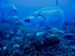 Вечернее фото рыб-единорогов