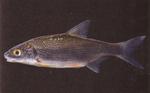 Вечернее фото рыбы породы Рыбец